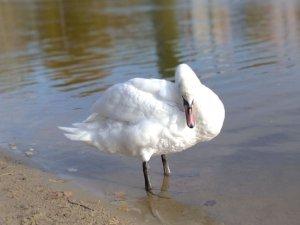 В Сумах на озере Чеха поселился лебедь: что с ним будет дальше?
