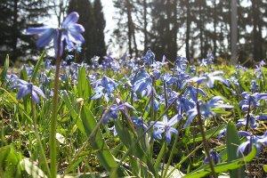 Жителей Сум и Сумской области просят сохранить первоцветы