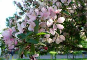 Цветущая яблоня предпросмотр