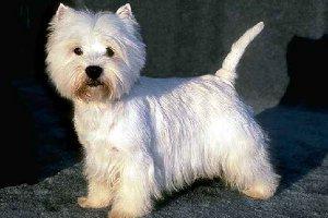 фото маленькие белые собачки