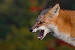В Сумской области выявили два случая бешенства лис