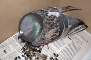 Ловушка для голубя своими