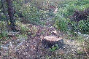 В Сумской области незаконно вырубили сосны
