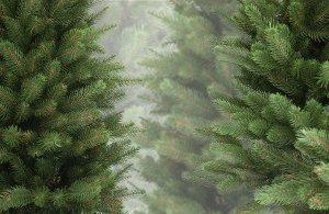 С сегодняшнего дня в Сумах стартует продажа живых новогодних елок